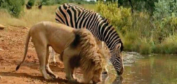 Be zebra my friend